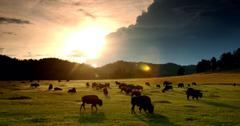 美洲野牛野牛