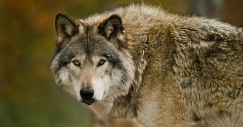 gray-wolves-delisted-1604066097034.jpg